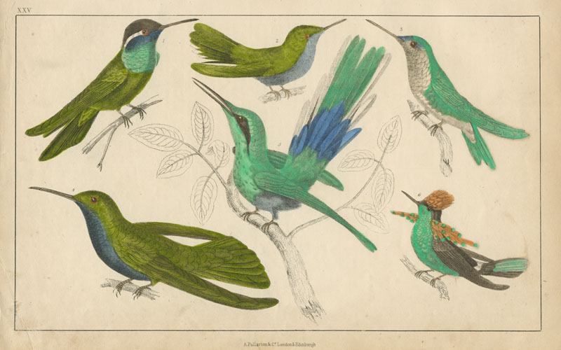Goldsmith Humming-Birds hand-coloured engraving. Antique print c1848