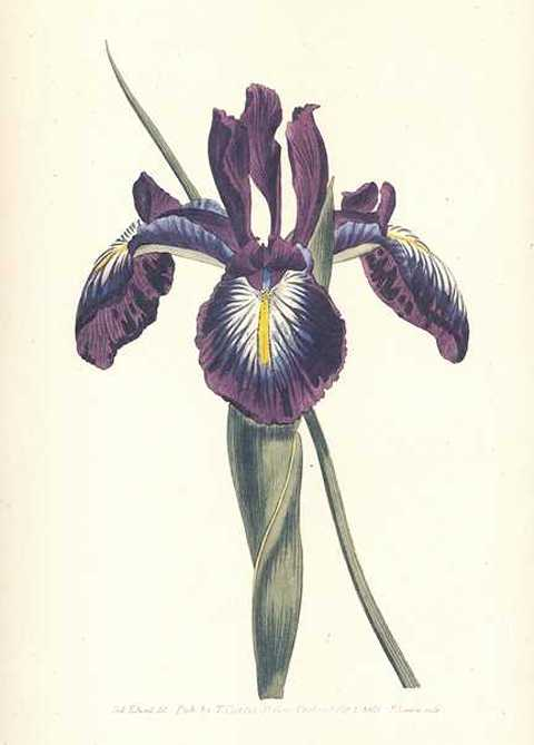 Pyrenaean Flag Iris Xiphoides, Heritage Editions Curtis print.