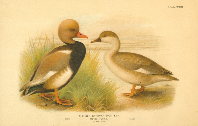 The Red-crested Pochard. Netta rufina. male & female. Lithograph c1904.