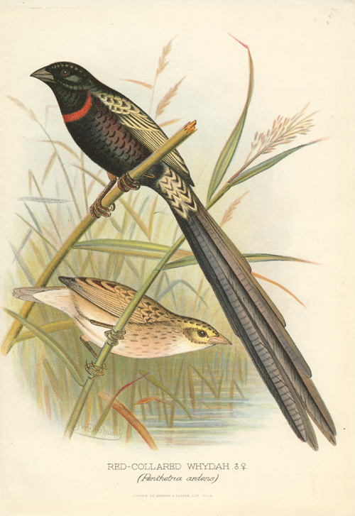 Red-collared Whydah  (Penthetria ardens), male & female. Lithograph c1896.