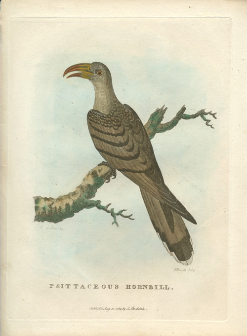 Psittaceous Hornbill. Australian Channel-billed Cuckoo engraving c1789 for Governor Phillip's Voyage.