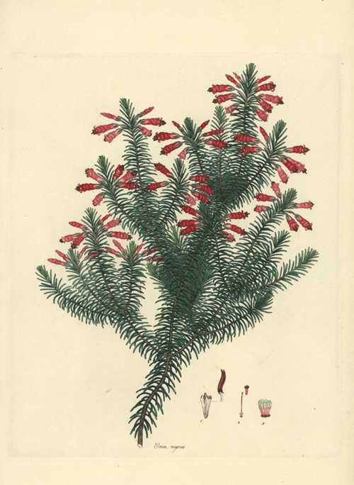 Erica rugosa. Henry Andrews Heath engraving c1805