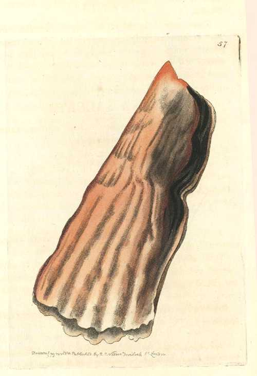 Pinna Saccata, Bag Pinna. R.P. Nodder engraving c1810