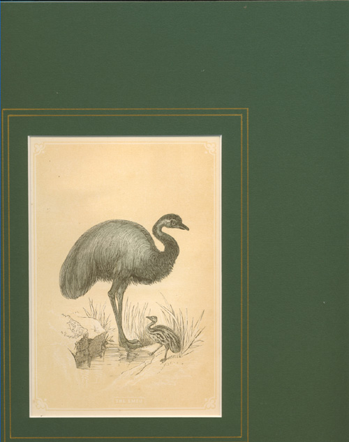 The Emeu. New Holland Cassowary with Chick c1851.