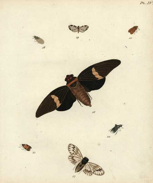 Lepidoptera. Superb 18th century engraving of moths, c1788