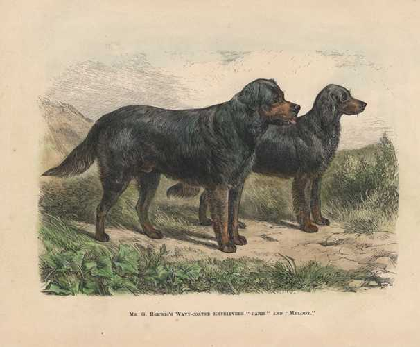 "Retrievers ""Paris"" & ""Melody"". Walsh antique print c1878."