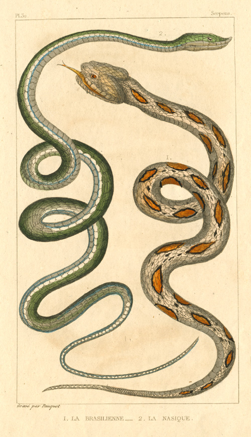 Snakes. La Brasilienne. La Nasique. Finely coloured and engraved c1835.