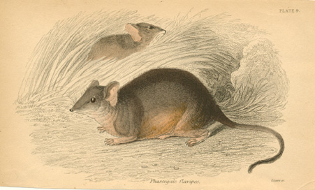 Phascogale flavipes. Yellow-footed Antechinus or Mardo c1841