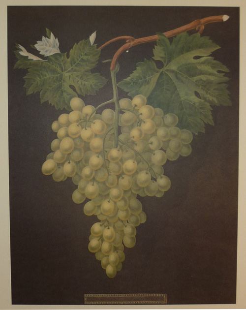 Stunning large print of Grapes by Brookshaw.