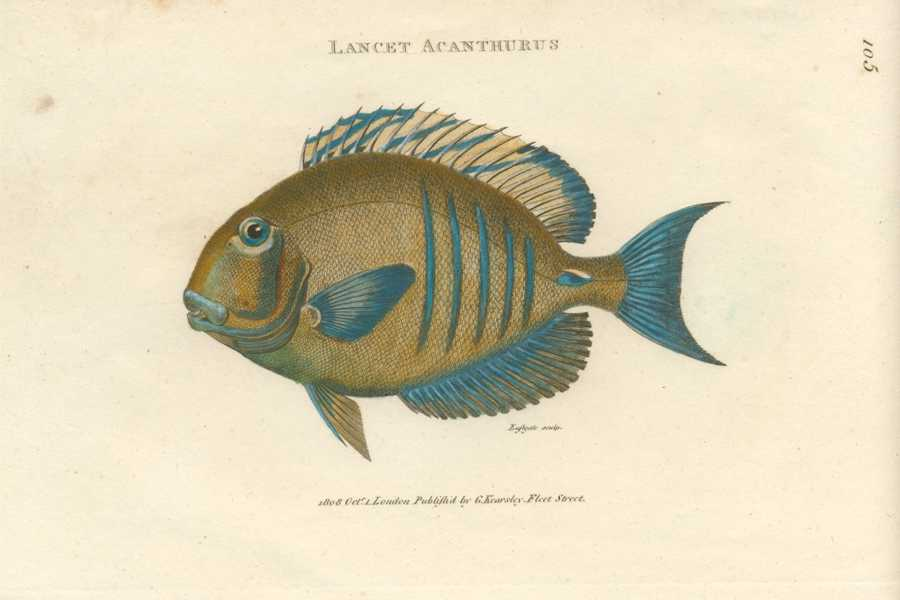 Fish, Lancet Acanthurus. Antique fish engraving by Eastgate for George Shaw. c1808