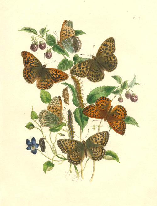 Argynnis Butterflies antique print. Hand-coloured lithograph. Humphreys c1860.