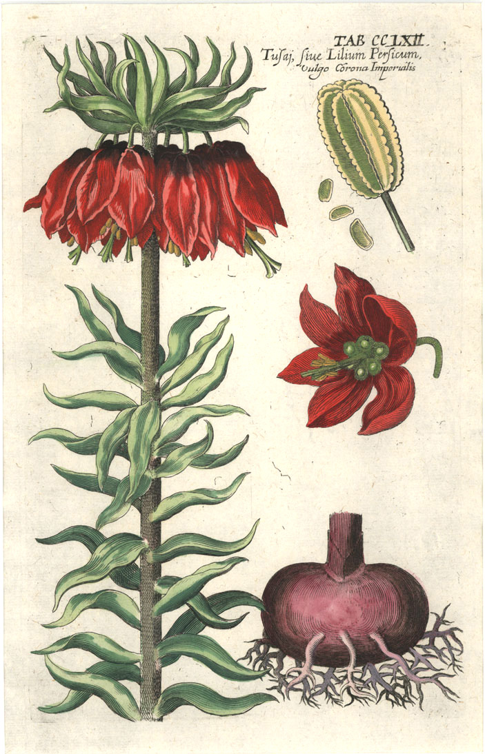 Stunning 17thC antique print. Crown Imperialis Lily c1670.
