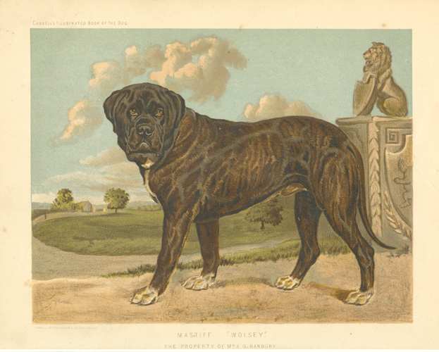 "Mastiff ""Wolsey"". The property of Mr. F.G. Banbury c1881."