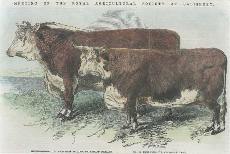 Cattle. Hereford Prize Bull, Hereford Prize Cow. Engraving c1857