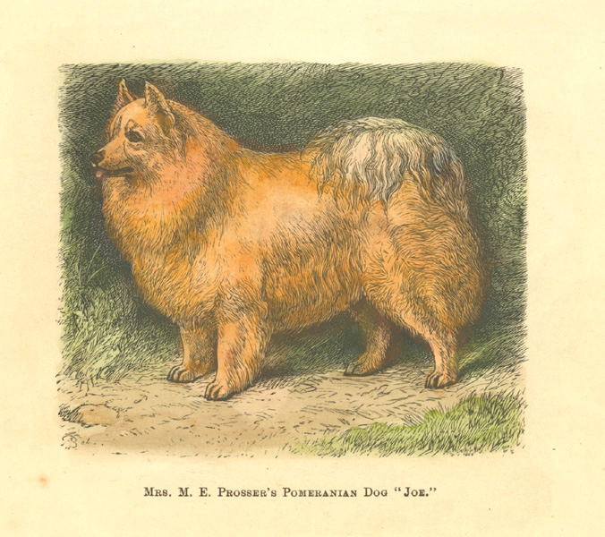 "Mrs. M.E. Prosser's Pomeranian Dog ""Joe"". Walsh, c1878."