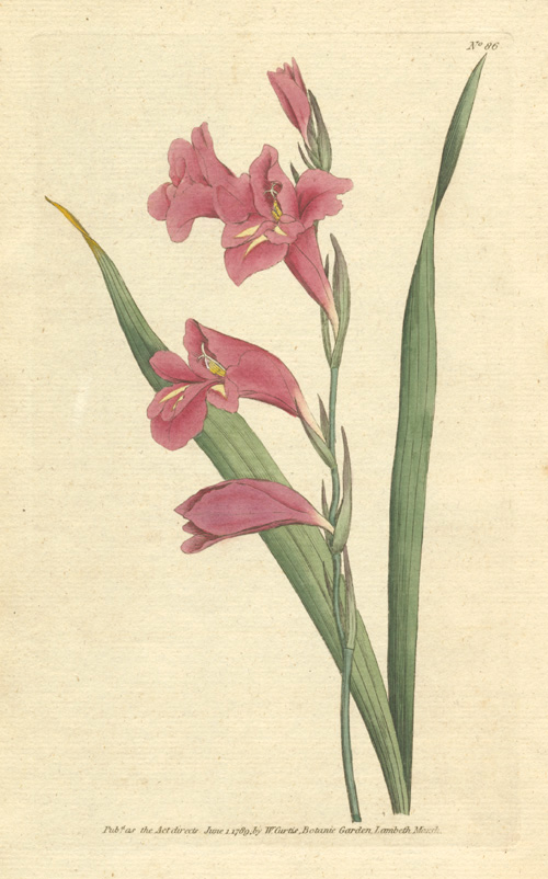 William Curtis Gladiolus communis, Gladioli. Common Corn-Flag. Engraving c1789.
