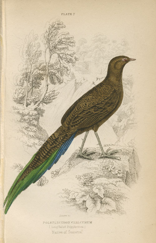 Long-tailed Polyplectron Chalcurum, Native of Sumatra. Lizars engraving c1835