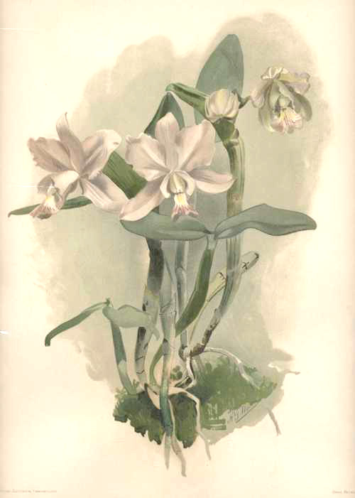 Cattleya O'Brieniana Orchid lithograph after HG Moon. Sander's Reichbachia c1890
