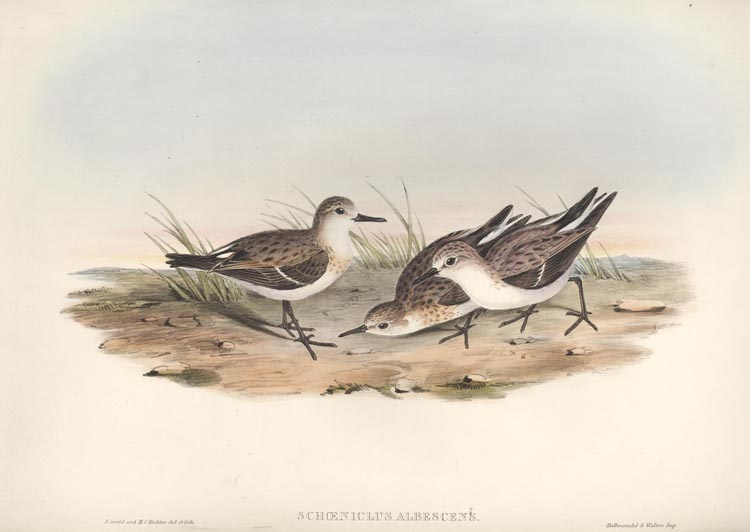 Gould Sandpipers, Schoeniclus Australis. Hand-coloured lithograph c1848.