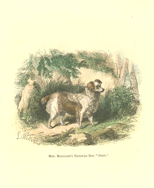 "Mrs. Malcolm's Truffle Dog ""Judy"". Walsh antique print c1878."