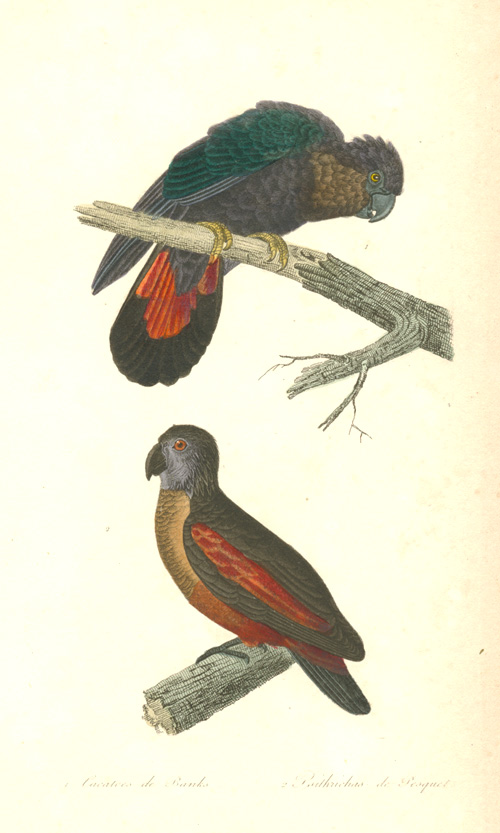 Banks's Red-tailed Black Cockatoo and Dracula Parrot engraving c1836.