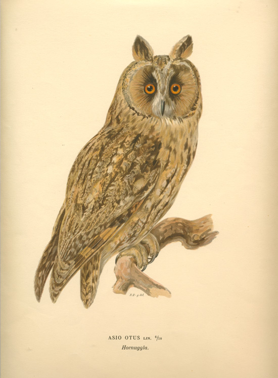 Asio Otus, Long-eared Owl. Von Wright lithograph c1927.