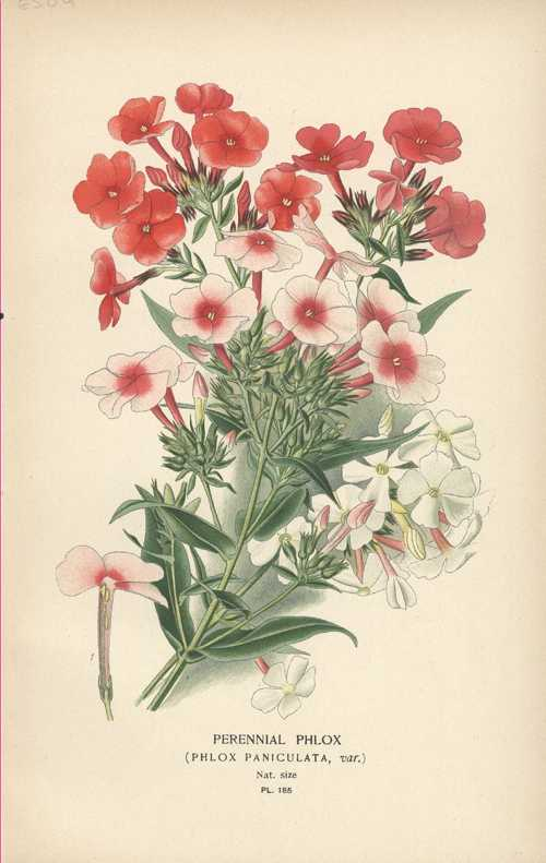 Step antique botanical lithograph Perennial Phlox c1890