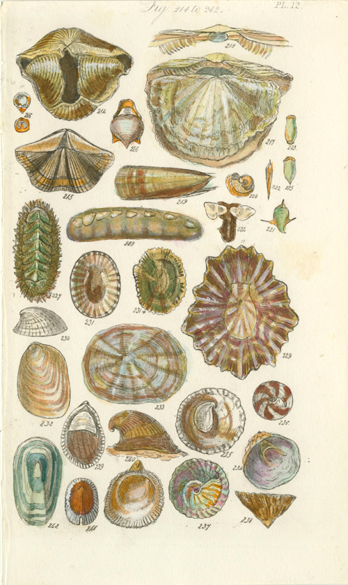 Antique print of Sowerby Shells. Small engraving c1822.