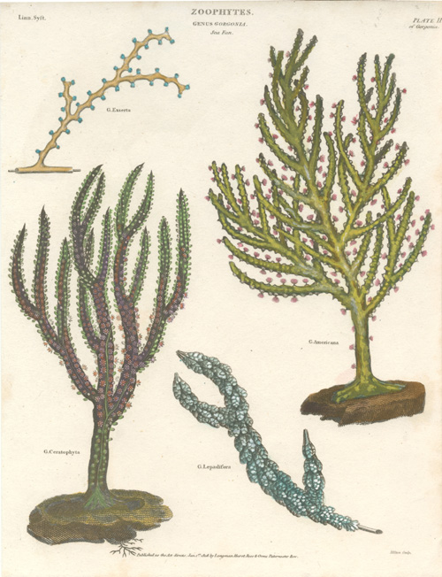 Sea Fan Zoophytes. Genus Gorgonia coral engraving c1808.