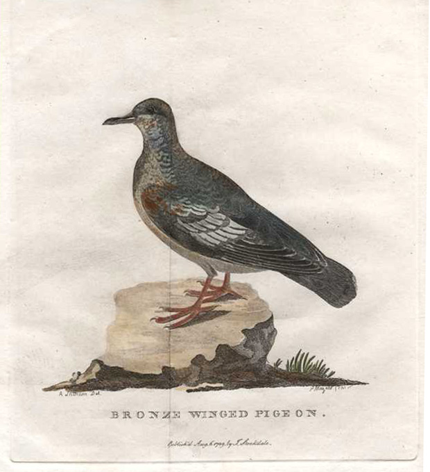 Bronze Winged Pigeon. Governor Phillip's Voyage. Stockdale c1789.