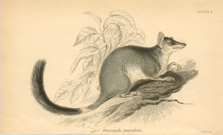 Phascogale penicillata. Brush-tailed Phascogale or Wambenger engraving c1841