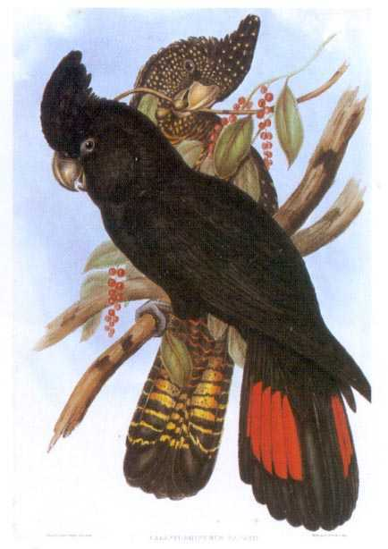 John Gould Banksian Cockatoo, Gould Red-tailed Black Cockatoo