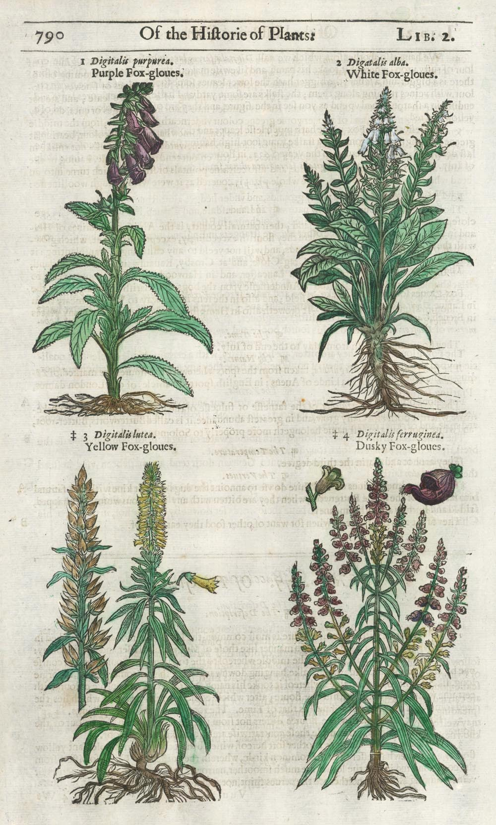 16th century Foxgloves woodcut Herbal page. Gerarde c1597..