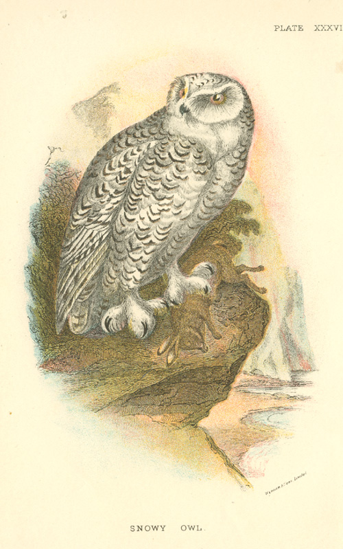 Snowy Owl with prey. Chromolithograph, Sharpe c1897.