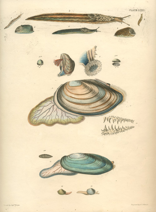 Mollusc-carrying slugs. A.T. Aikman engraving, Captain Brown c1845