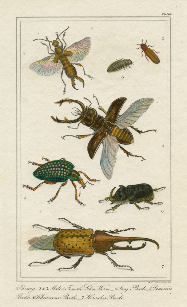 Earwig, Glow Worm and Beetles engraving c1882 for T. Tegg.
