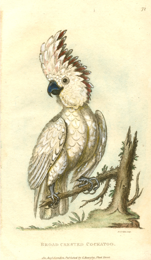 Broad-Crested Cockatoo antique print. George Shaw c1811