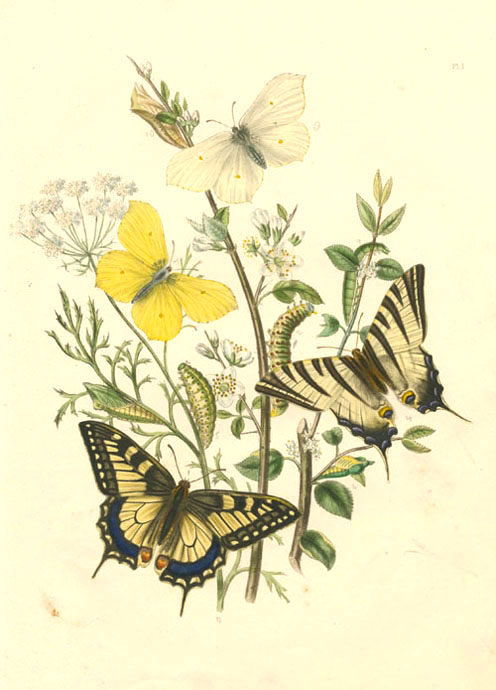 Butterflies and their Transformations c1849. Discounted antique print.