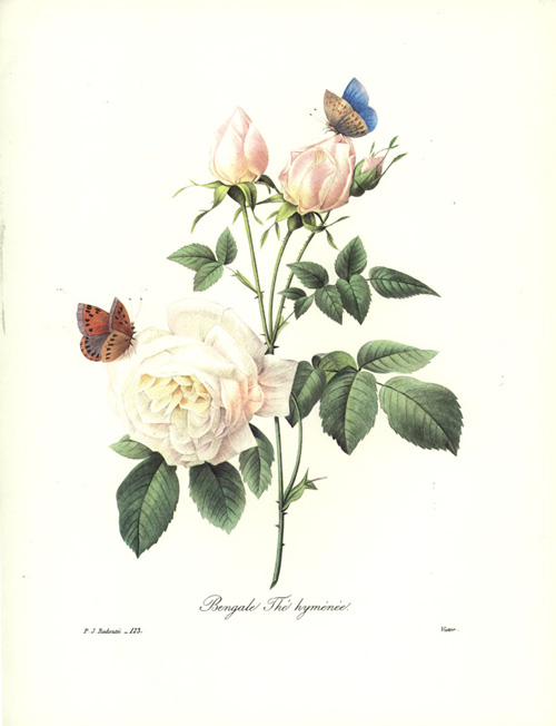 Bengal Tea Rose with Butterflies. Bengale Thé hyménée.