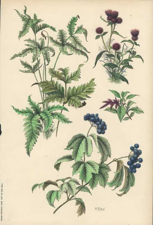 Henry Ryan botanical lithograph. Rough Sketches from Nature #32 c1860.