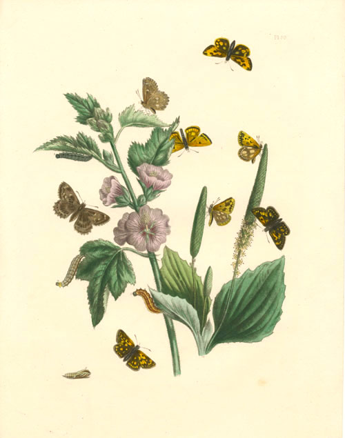 Butterflies Transformations engraving c1849 by H.N.Humphreys.