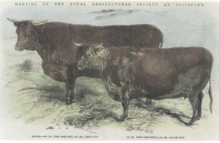 Cattle. First Prize Devon Bull. First Prize Heifer c1857