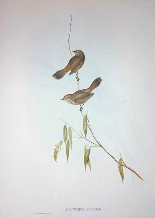 John Gould Acanthiza apicalis, Western Thornbill print.