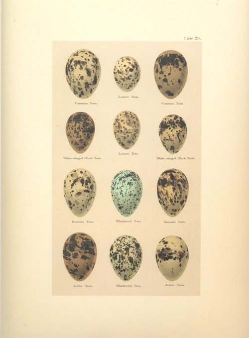 Birds Eggs reproduction print from Seebohm lithograph
