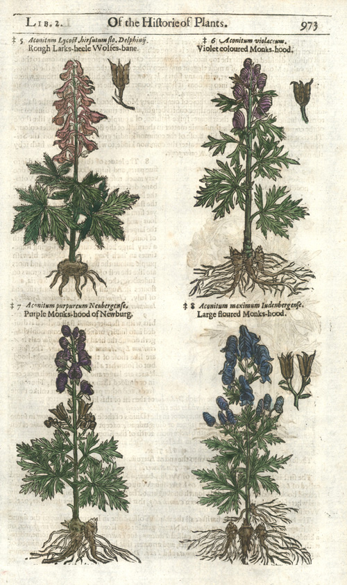 Gerarde. Historie of Plants. Wolfs-bane, Monks-hood wooblock c1597.