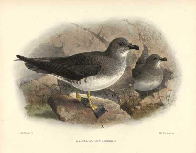 Keulemans hand-coloured lithograph. Oestrelata Arminjoniana Black-breasted Petrel. c1875