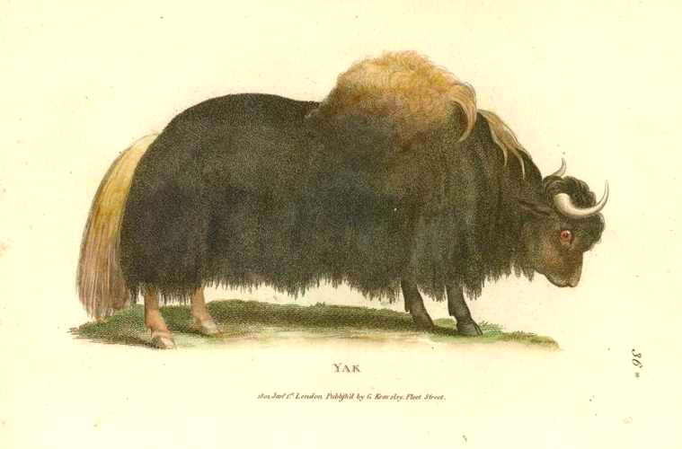 Yak Antique Print by George Shaw circa 1808