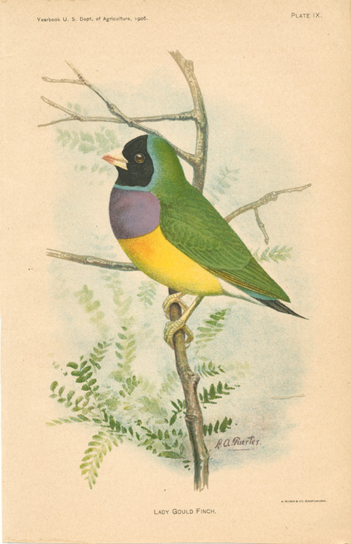 Gouldian Finch, Lady Gould Finch or Rainbow Finch. Chromolithograph c1906.