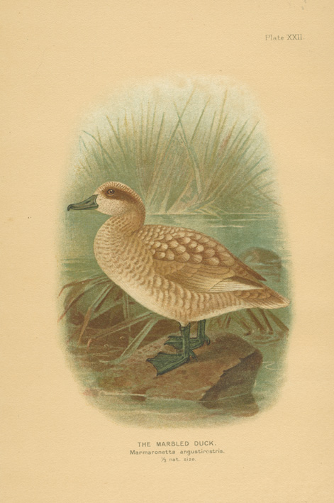 The Marbled Duck. Marmaronetta angustirostris. Antique lithograph c1904.