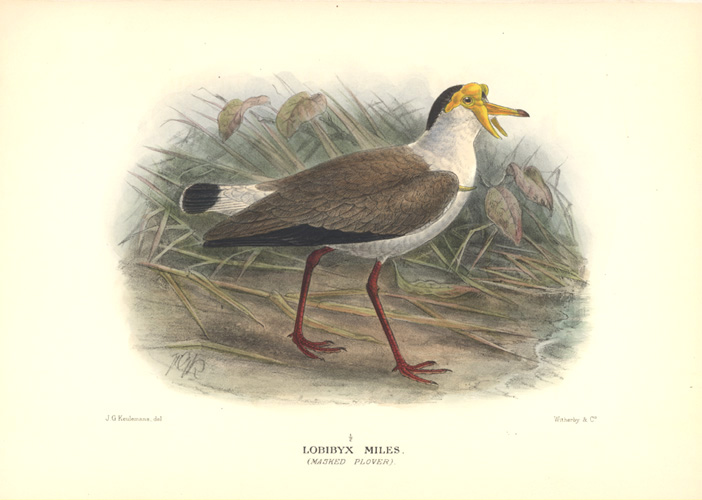 Keulemans Lobibyx Miles. (Masked Plover) Hand-coloured lithograph c1920.